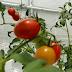 Informasi Usaha Budidaya Sayur Tomat