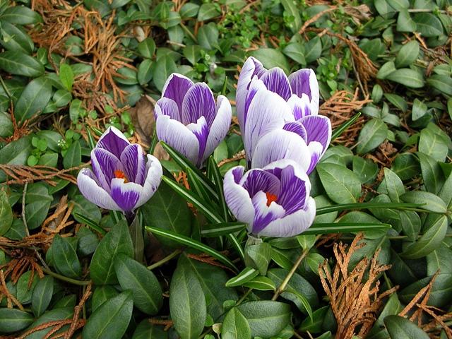 krokusy, kwiaty, wiosna, barwinek