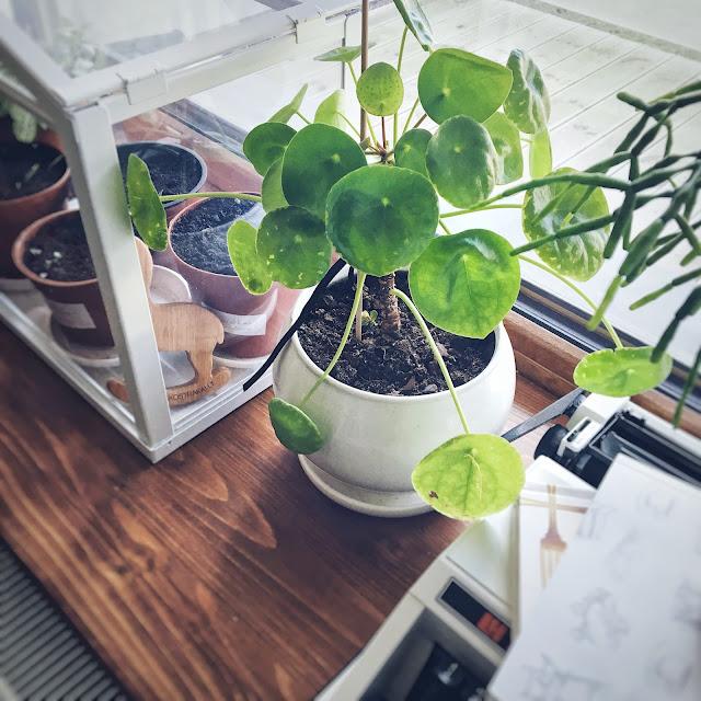 Pilėja augalas