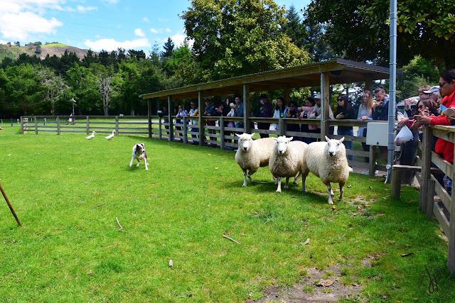 dog, sheep, people watching
