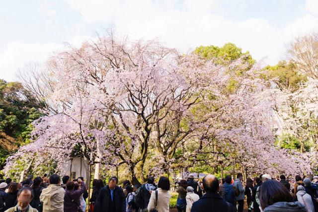 六義園(文京区)の枝垂れ桜