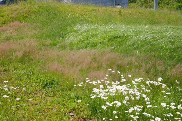 A variety of wild grasses & ox-eyed daisies