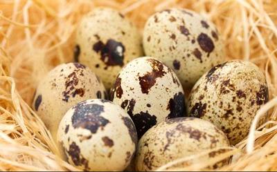 Cara Beternak Telur Puyuh Bagi Pemula