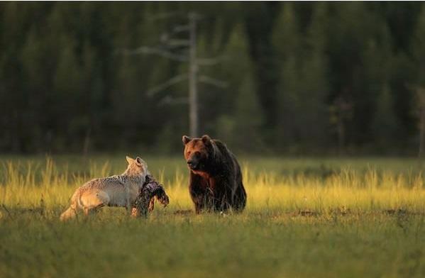Beruang dan Serigala Ini Akan Mengajarkan Kita Apa Itu Persahabatan, Meskipun Fisik Mereka Berbeda
