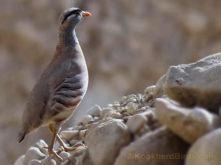 Perdiz gorgigris: Ammoperdix griseogularis