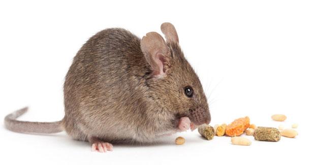 cara mengusir tikus curut