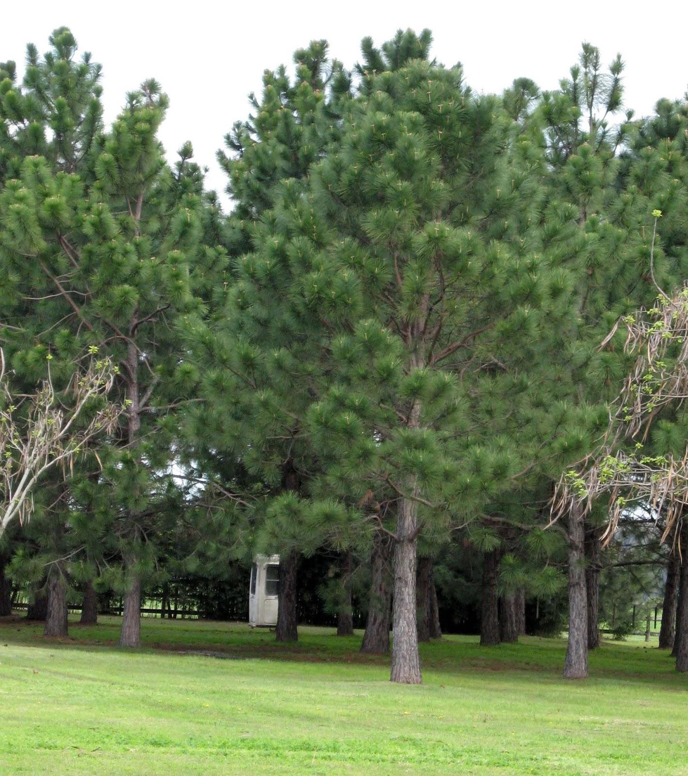 En el jardin con feras perennes for Tipos de pinos para jardin fotos