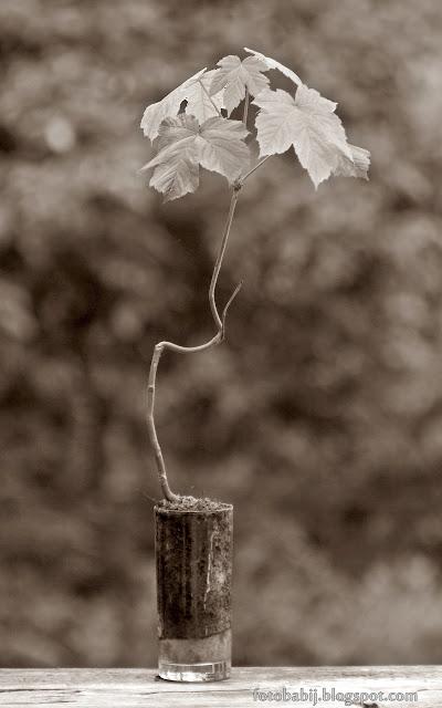 http://fotobabij.blogspot.com/2015/08/bonsai-w-szklance-klon-jawor-b-3r1.html