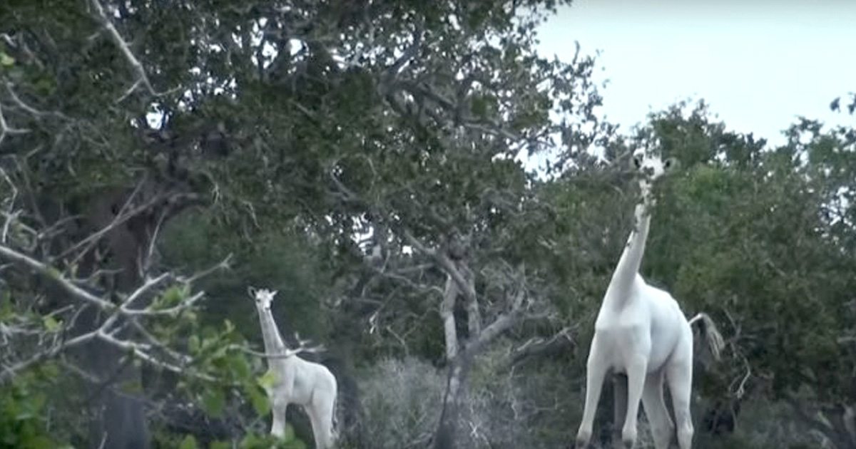 Rare White Giraffes Captured On Camera For The First Time Ever