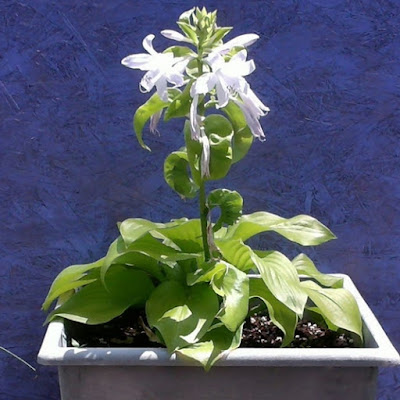 The Shining hosta in a plastic green pot