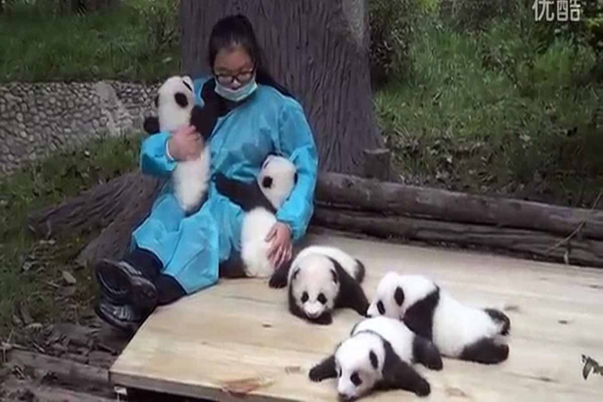 Someone Is Going To Get Paid $32,000 A Year To Hug Baby Pandas And It Could Be You