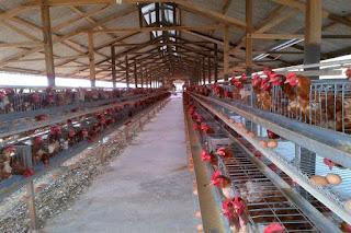 Ternak-Ayam-Petelur