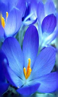 Flores azules fondos wallpaper para teléfono móvil resolución 480x800