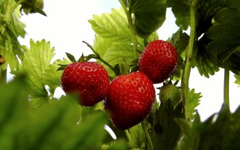 Wallpaper: Bio Strawberries