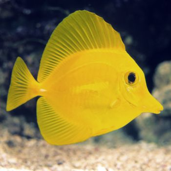 Tang fish - photo#53