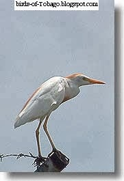 Cattle Egret (Bubulcus ibis) Birds of Tobago