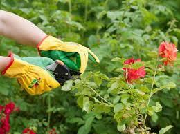 https://memperkuatjaringanpadakardanbatang.blogspot.com/2018/12/cara-merawat-tanaman-hias-mawar-bisa.html
