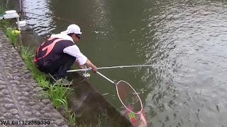 Umpan Serbuk Ikan Mas Di Air Bening atau Jernih