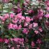 PSEUDERANTHEMUM ATROPURPUREUM Acanthaceae Benefits, Care & Propagation  PSEUDERANTIIEMUM ✅
