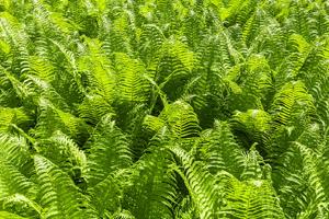 Helechos, ejemplo de planta criptógama