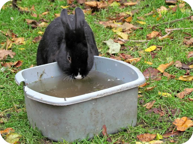 Bunny drinking water