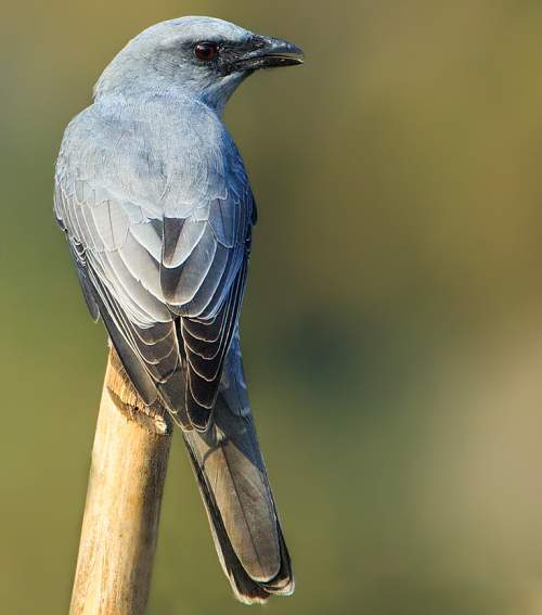 Indian birds - Picture of Large cuckooshrike - Coracina macei