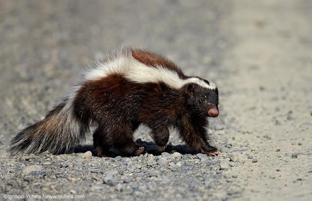 A feisty skunk