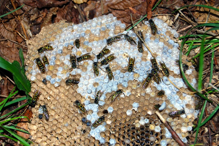 French wildlife and beekeeping: Poor year for wasps and ...