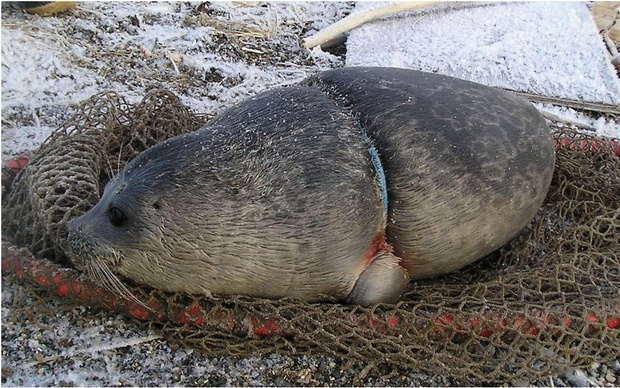 Seal trapped in plastic waste