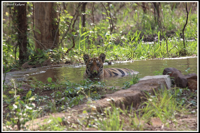 cuteness overload....Tiger Cub at Zhari