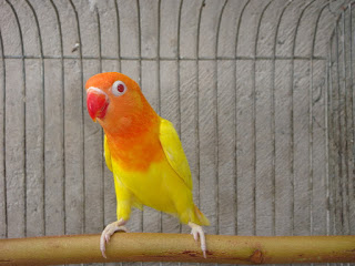 Free Download Mp3 Suara Burung Lovebird Juara Gacor