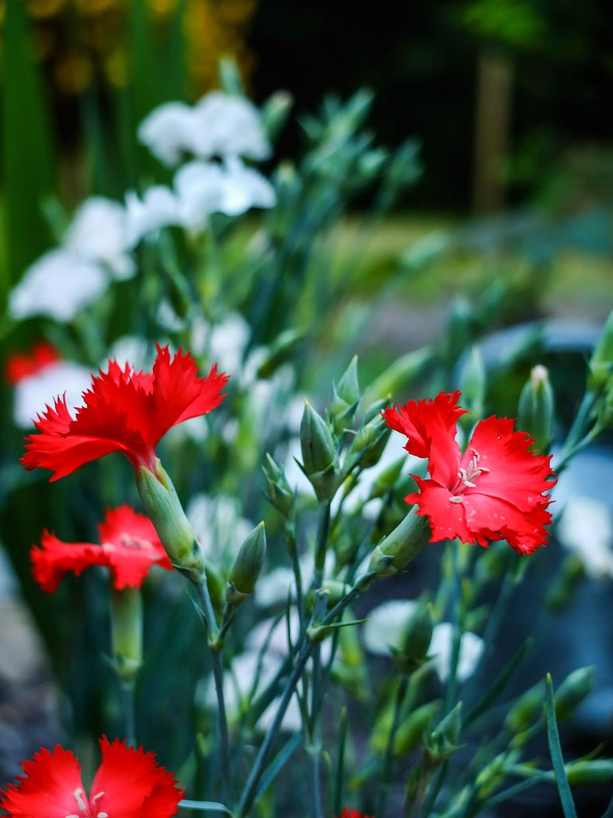 Red and white Carnation flower bunches.