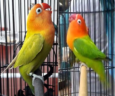 Jika anda seorang lovebird mania atau pemain lovebird yang sudah cukup usang malang melint Ciri-Ciri Lovebird Siap Gantang/ Dilombakan