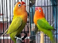 Ciri-Ciri Lovebird Siap Gantang/ Dilombakan