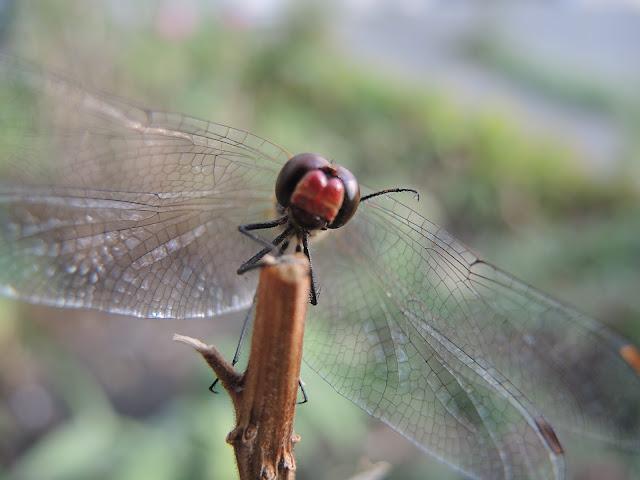 Ik kreeg bezoek van een mooi mijnheertje in mijn tuin, een libel 'Sympetrum sanguineum' genaamd