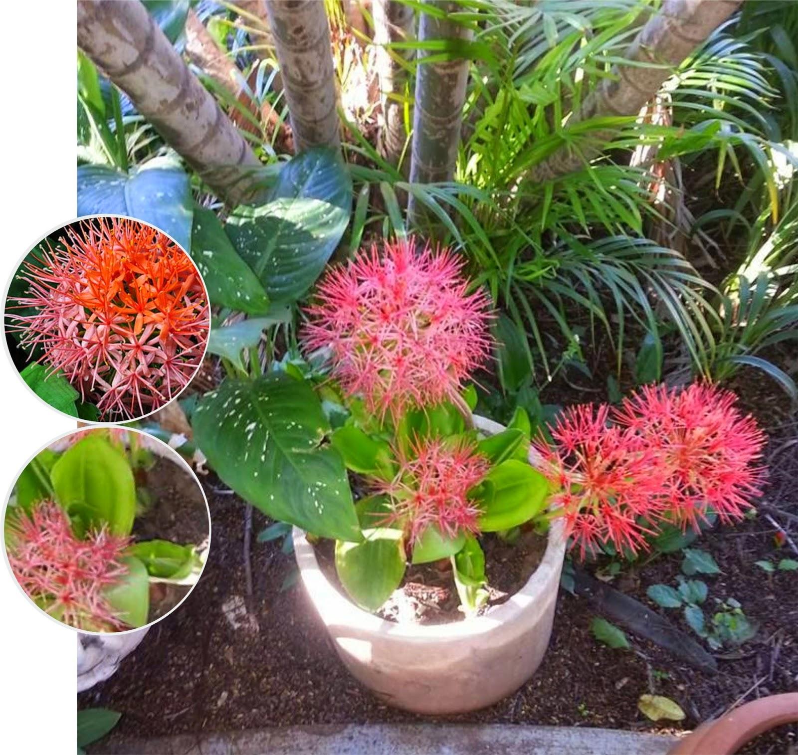 V e r d e c h a c o bola de fuego alfiletero flor de for Arbol de fuego jardin