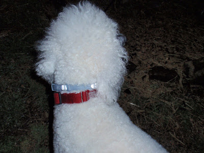 Standard Poodle wearing a #Seresto collar with her red collar-carmapoodale
