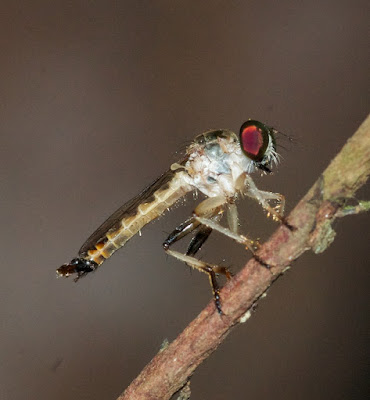 Robber Fly [Asilidae]