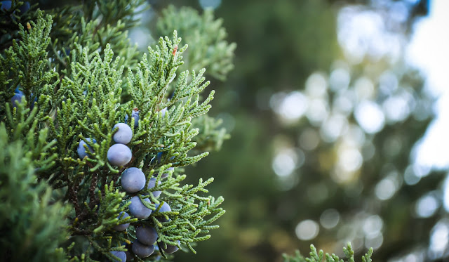 Close up on berries on a juniper bush.