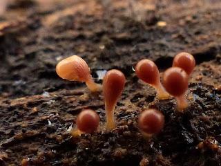 Hémitrichie non déterminée - Hemitrichia sp.