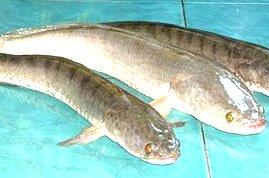 obat ikan gabus, kesehatan dengan Ikan gabus
