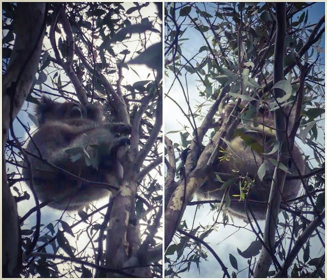 koala adelaide