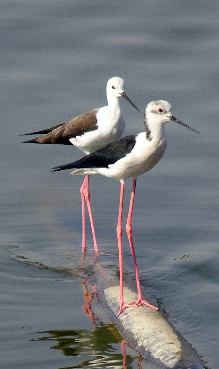 Long legged black-winged stilt birds.