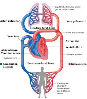 Sistem Peredaran Darah Besar dan Kecil Pada Manusia
