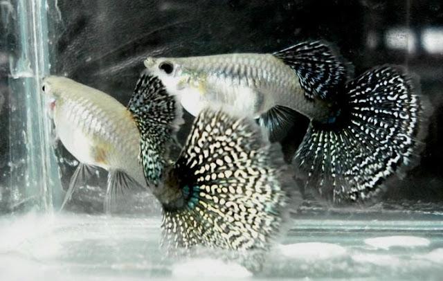 Ikan Guppy Dragon Betina - Cara Budidaya Ikan