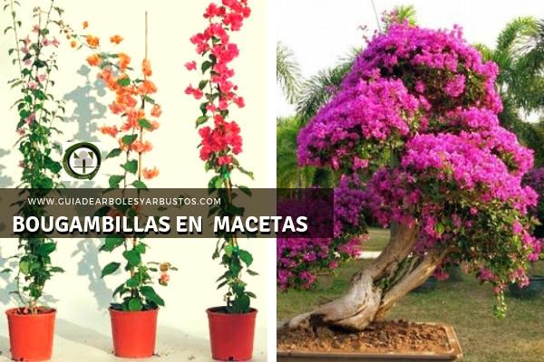 La Bugambilla resulta apta para cultivarse en macetas y maceteros con fines ornamentales