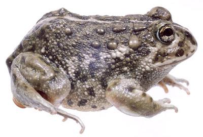 Odontophrynus occidentalis