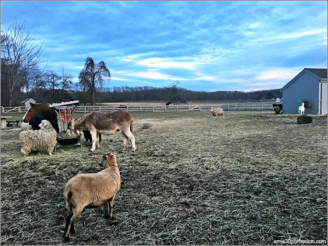 Animales de granja en la Spencer Peirce Little Farm House