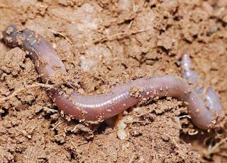 Manfaat Cacing Tanah Untuk Kesehatan Tubuh