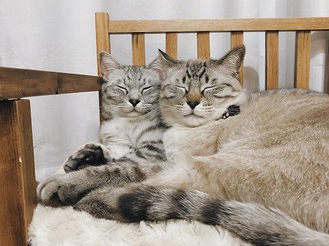 菩薩のような顔をしたそっくりな2匹の猫
